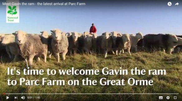 Meet Gavin, the one-horned Herdwick ram. He belongs to Dan Jones, farmer at Parc Farm on the Great Orme in North Wales.