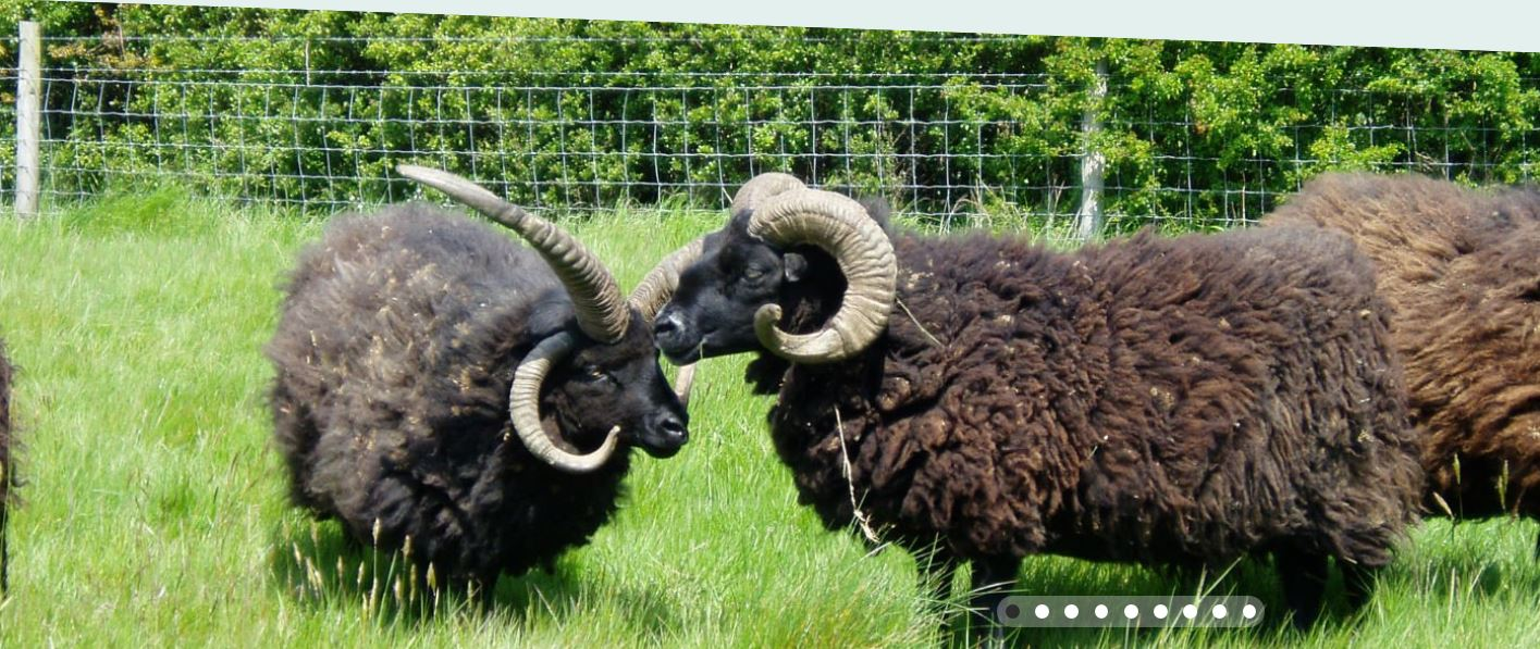 Spot our Hebridean sheep grazing in the meadow National Trust
