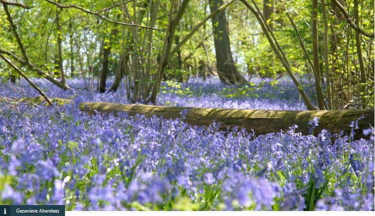 Bluebells in full bloom at Hatchlands Park National Trust Photos Genevieve Aberdeen
