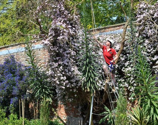 National Trust gardener Kate Wilkinson used a step ladder and bamboo pole to measure giant 4 metre Echiums at Beningbrough Hall, near York, during a regular survey of the garden. CREDIT: National Trust/Matt Clark