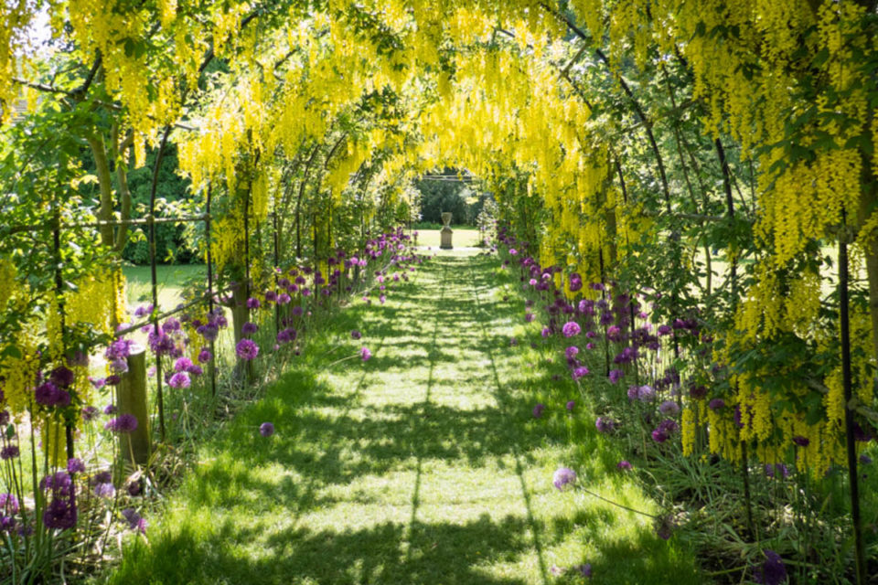 Laburnum arch at Seaton Delaval Hall, Northumberland ©National Trust Images/Tom Carr
