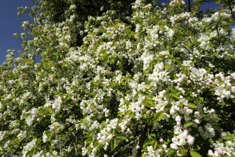 Apple tree in blossom in April, in the fruit orchard at Cotehele, Cornwall.