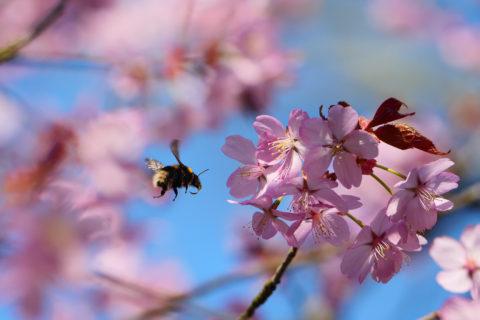 Cherry blossom at Sheringham Park
