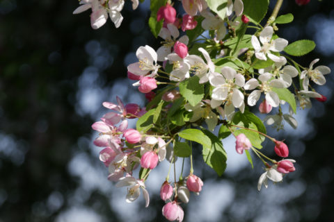 Crab apple blossom in the garden at Wimpole, Cambridgeshire.