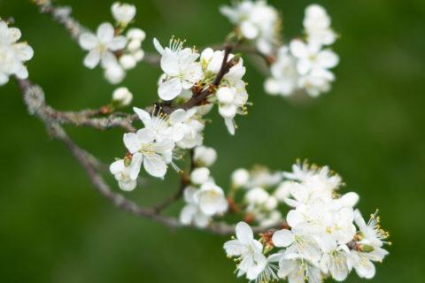 Damson blossom at Brockhampton