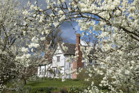 Damson blossom in bloom at Brockhampton