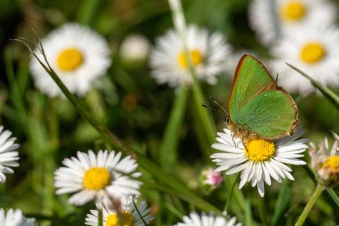 Green hairstreak butterfly on a daisy at Sheringham Park, Norfolk