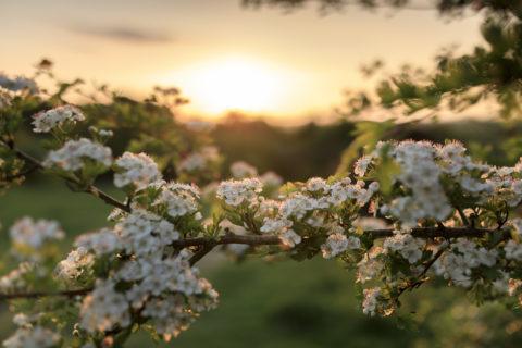 Hawthorn in flower at Stockbridge Down, Hampshire