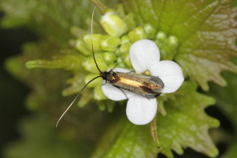 Longhorn moth on garlic mustard at Sheringham Park, Norfolk.