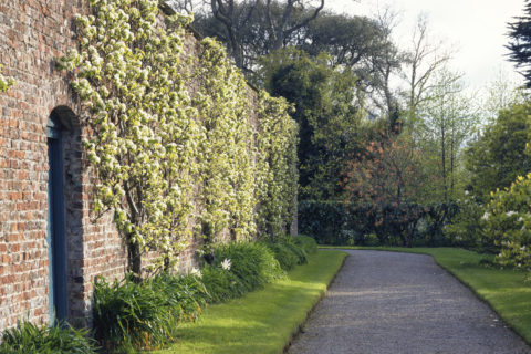 Fan trained Pears on the old kitchen garden wall in the grounds of Antony House in spring.
