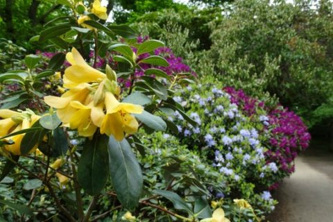 The flowers of dwarf rhododendrons