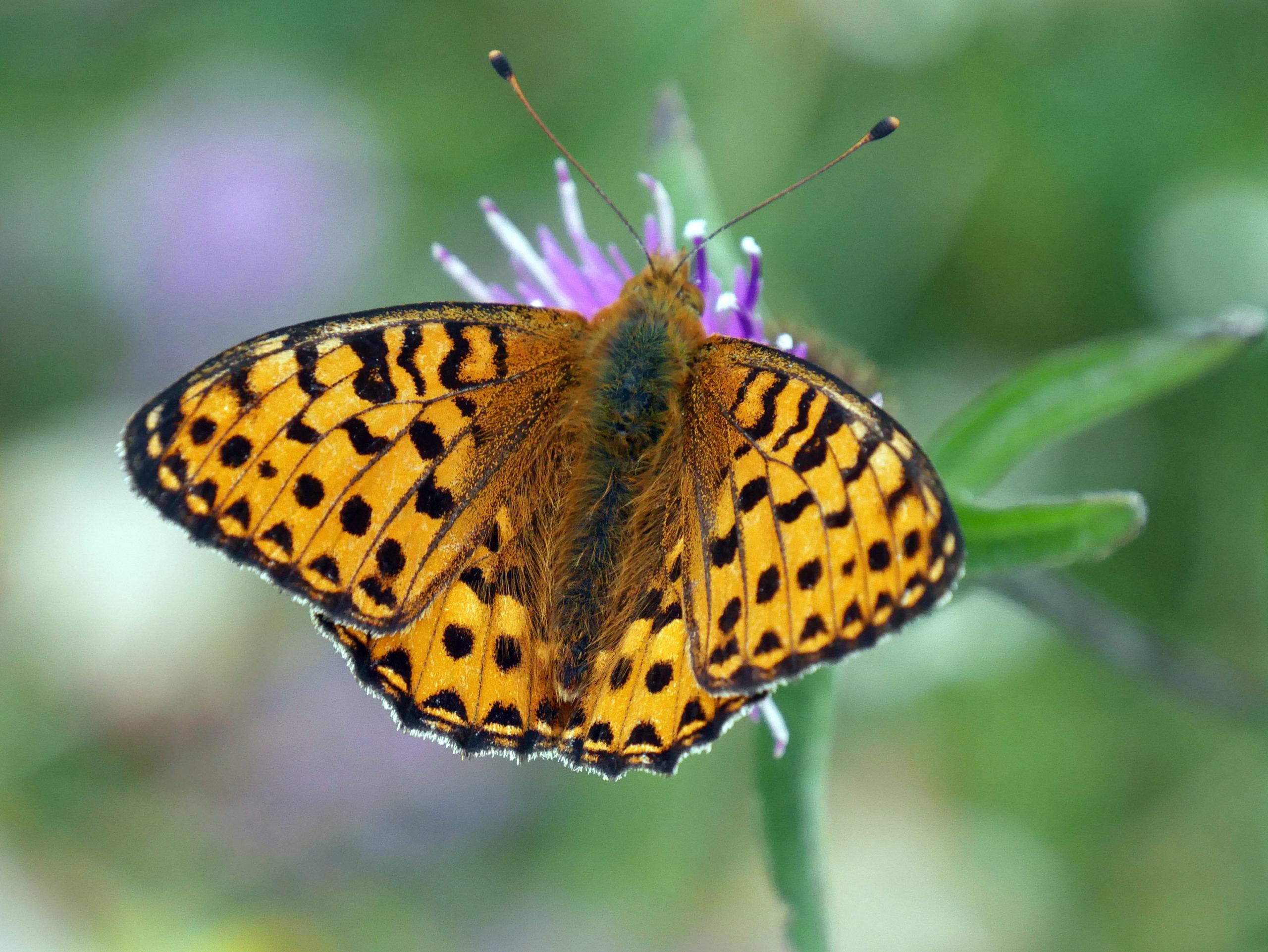 Dark green fritillary butterfly at Portstewart Strand, County ©NT Images & Wilbert McIlmoyleLondonderry