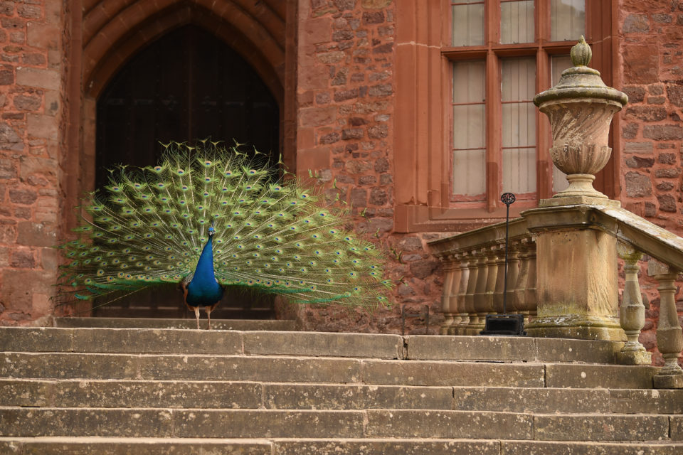 A peacock displaying his tail feathers at Powis Castle, Wales