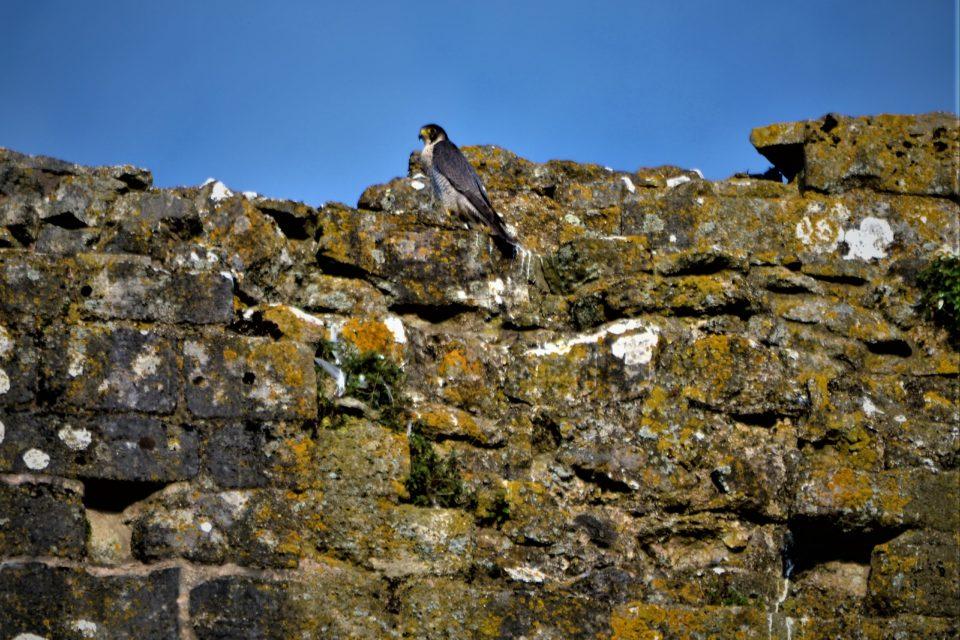 Peregrine at Corfe Castle, Dorset. © National Trust Jonathan Kershaw