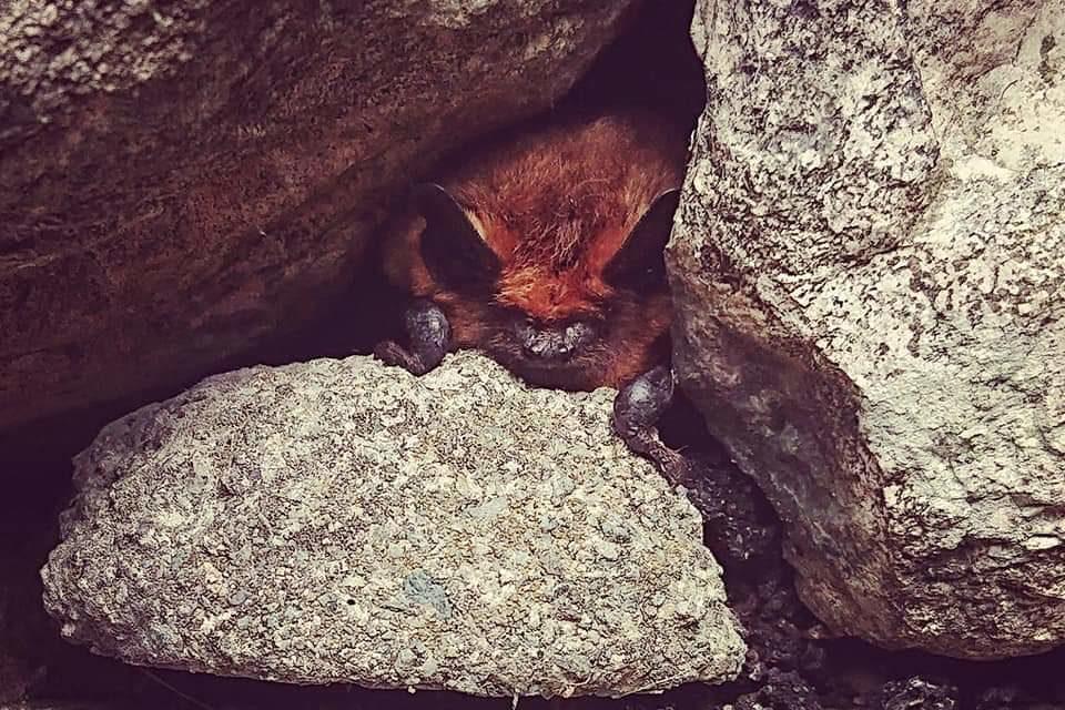 Pipistrelle Bat, Lake District. © National Trust Laura Ruxton