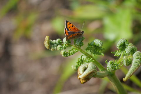 Small copper butterfly, Roseland. © National Trust Harriet Davies