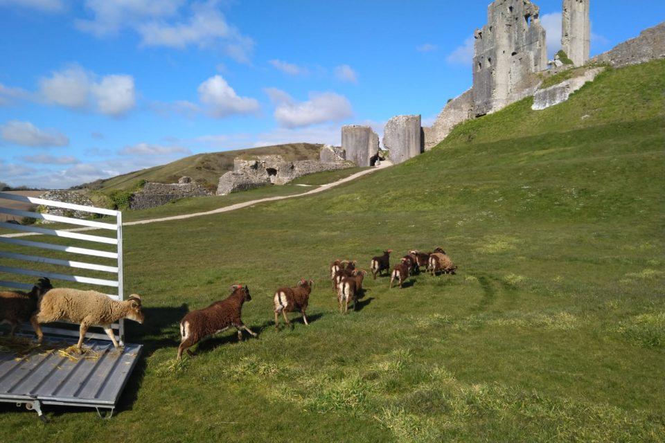 Soay sheep at Corfe Castle. © National Trust Karen Harmer